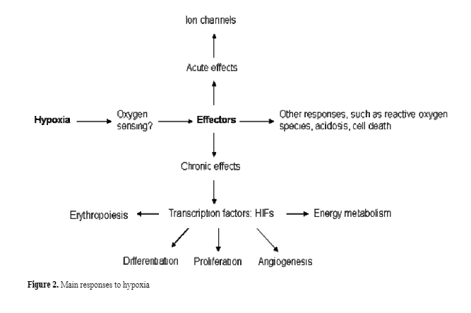 Cellular responses needed to survive and maintain oxygen homeostasis